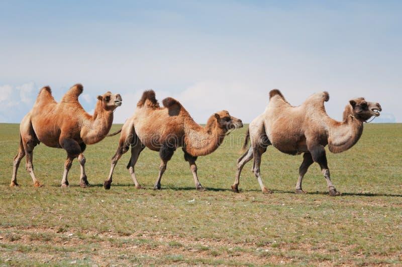 Één kameel in Mongolië stock fotografie