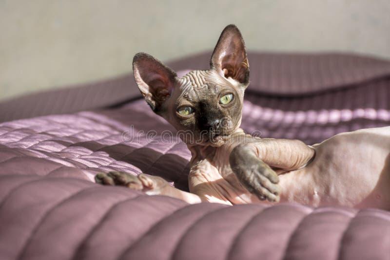 1, één kat die, Sphynx-ras Canadees op het bed liggen stock afbeeldingen