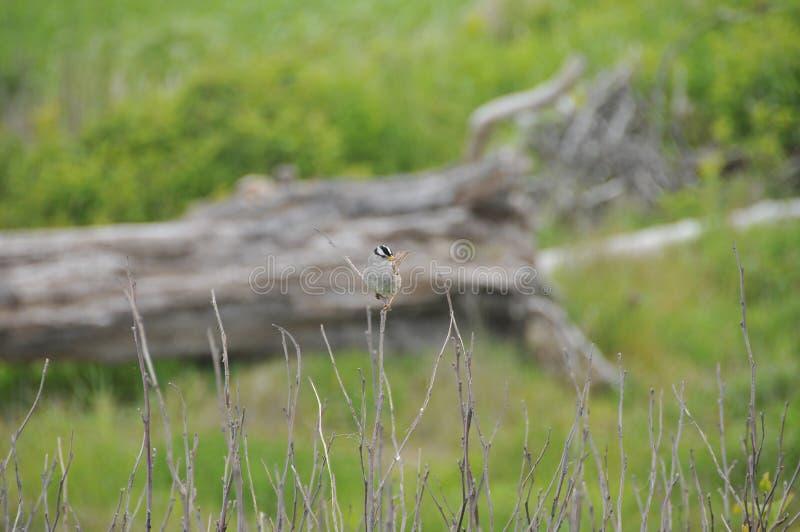 Één Kleine Vogel op een de Wintertak - Witte Bekroonde Mus stock fotografie