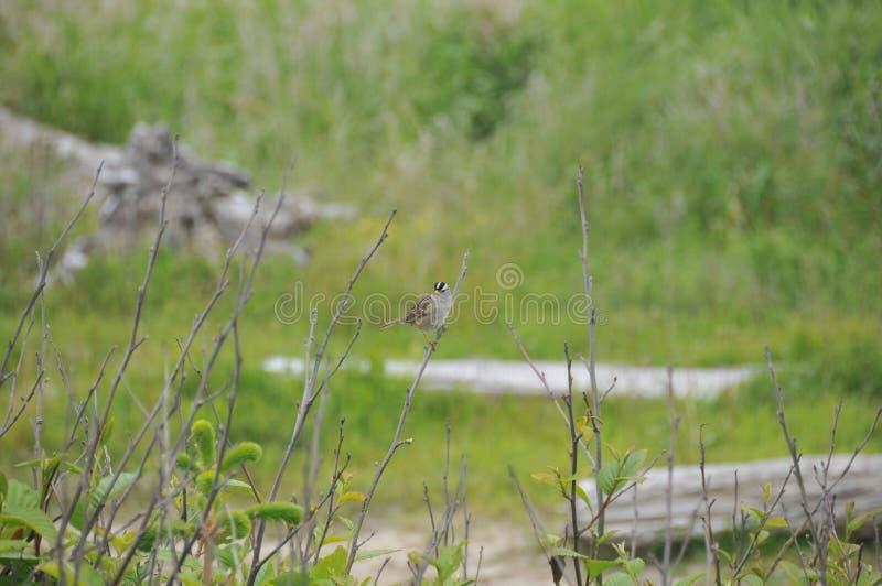 Één Kleine Vogel op een de Wintertak - Witte Bekroonde Mus stock foto