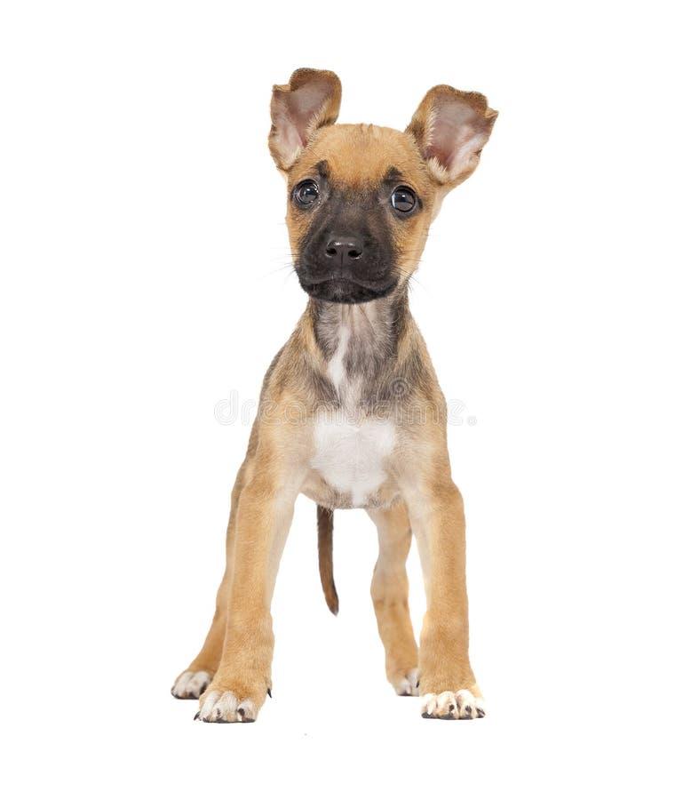 Één leuk gemengd puppy van Labrador van de rassenherder stock afbeeldingen