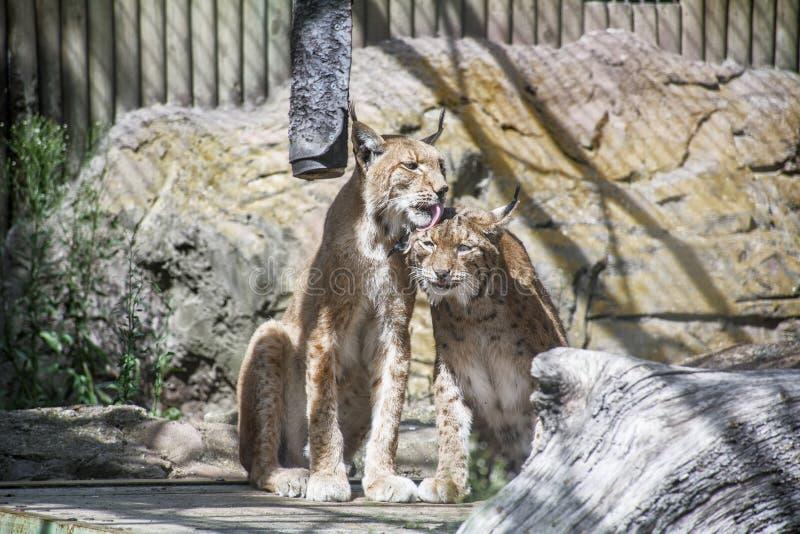Één lynx houdt van een andere lynx in de kooi stock foto's