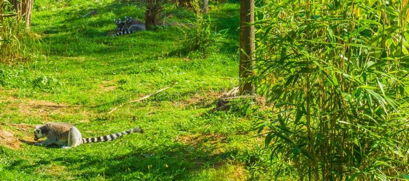 Één madagascan zitting van de makiaap in het gras en 2 makien die op de achtergrond leggen stock foto