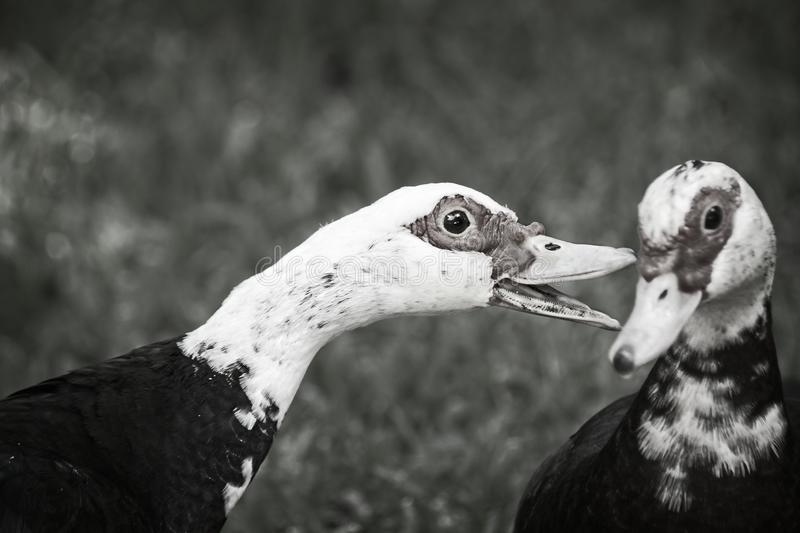 Één Muscovy Duck Talking To Another B&W royalty-vrije stock foto's