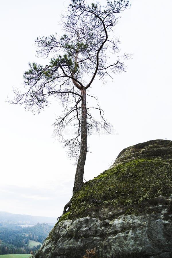 Één naald eenzame pijnboomboom groeit op rotsberg royalty-vrije stock foto's