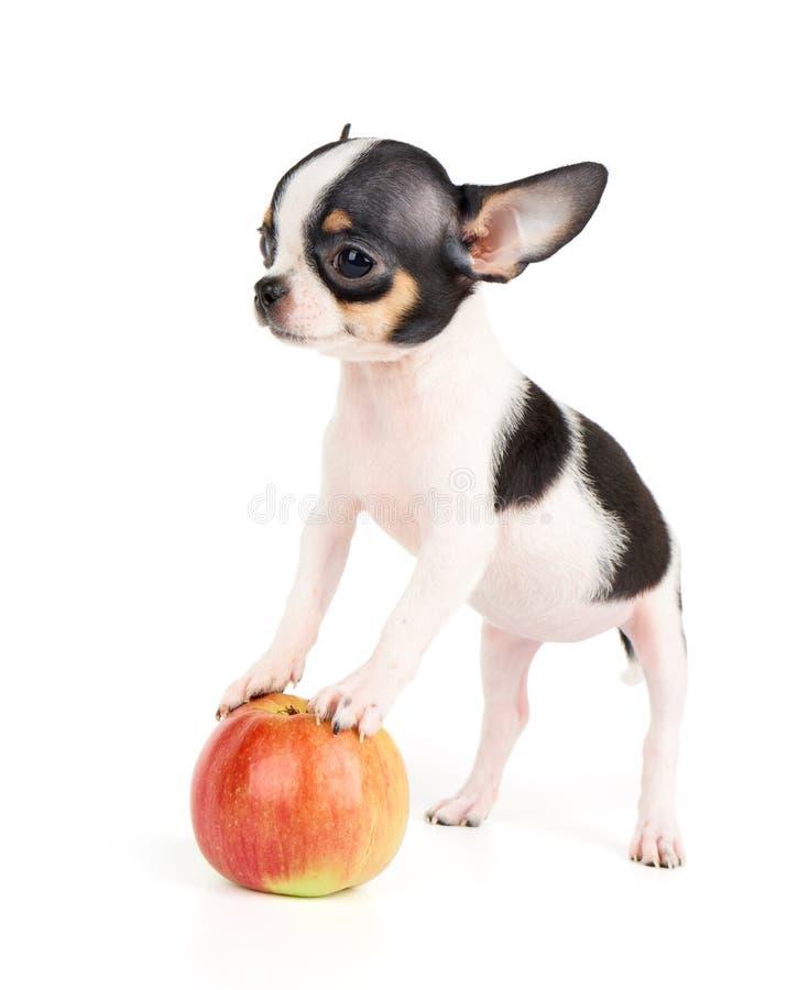 Één puppy en appel stock afbeeldingen