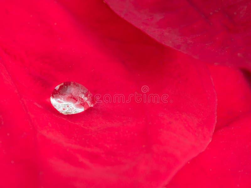 Één Regendaling op het Rode Poinsettiablad stock afbeeldingen