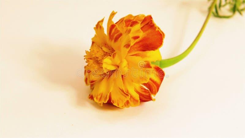 Één rode bloem royalty-vrije stock afbeeldingen