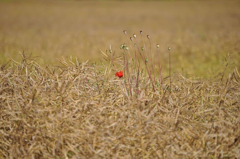 Één rode bloem alleen op het gebied stock afbeelding