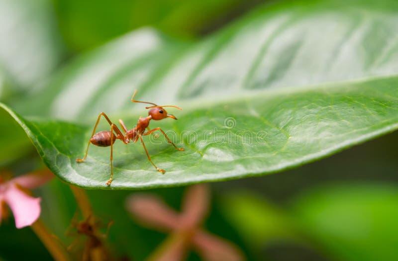 Één rode mieren macrofotografie op groen blad stock afbeelding