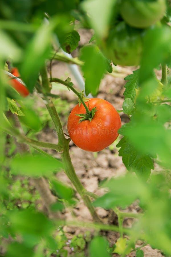 Één rode rijpe tomaat van de landbouwer hangt op een boomstam in een serre stock foto