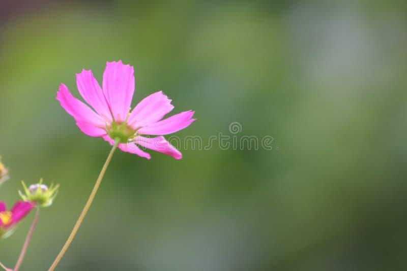Één roze royalty-vrije stock afbeeldingen