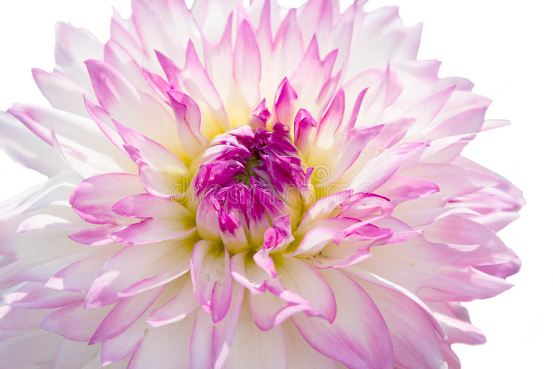 Één roze en wit van de dahliabloem royalty-vrije stock fotografie