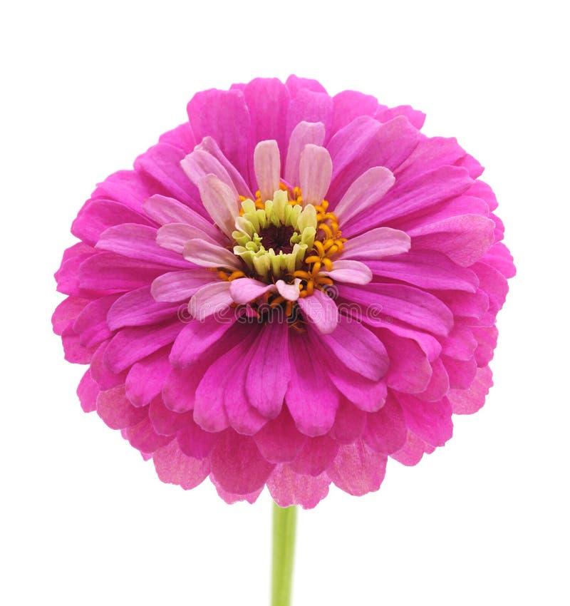Één roze Zinnia royalty-vrije stock foto