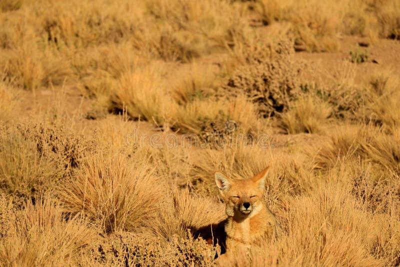 Één Slaperige Andesvos die onder het Gebied van de Woestijnborstel, Atacama-Woestijn zonnebaden van Noordelijk Chili, Zuid-Amerik royalty-vrije stock fotografie