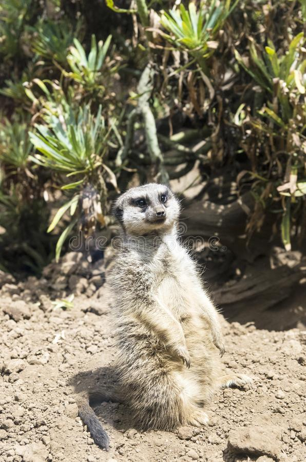 Één surikatitribunes royalty-vrije stock afbeelding