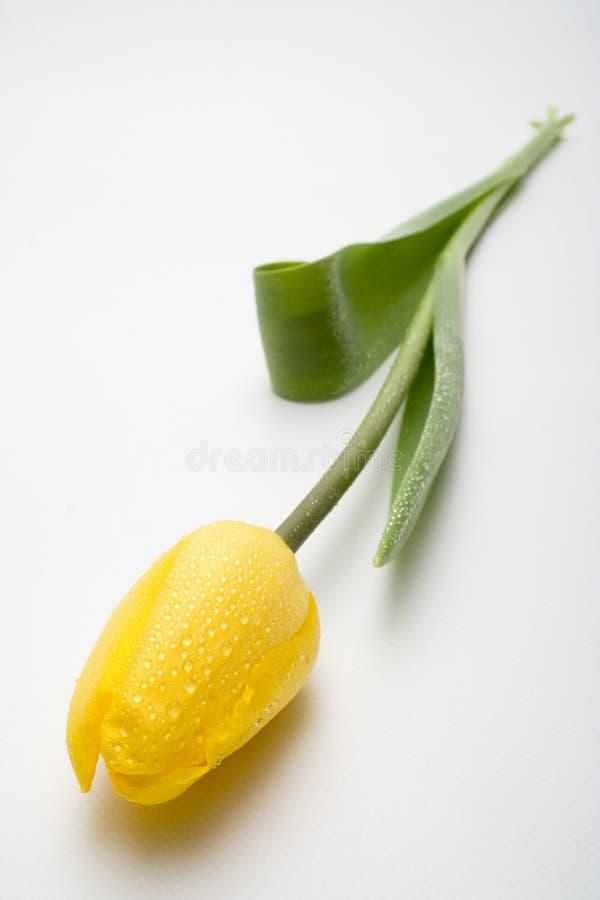 Één tulp stock foto's