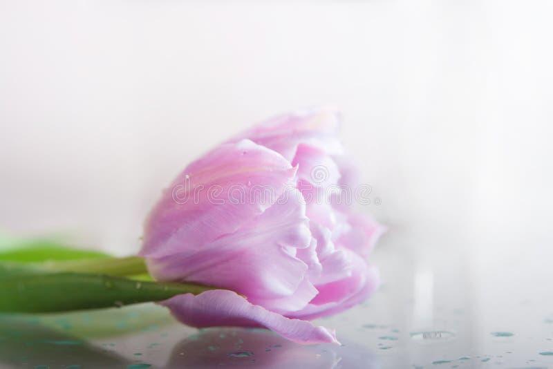 Één tulpenbloem in dalingen op een grijze achtergrond royalty-vrije stock afbeeldingen