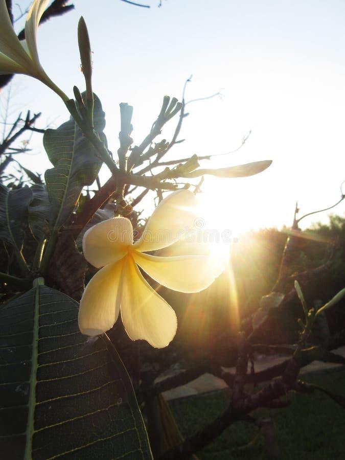 Één van de mooiste bloemen: Frangipani royalty-vrije stock foto