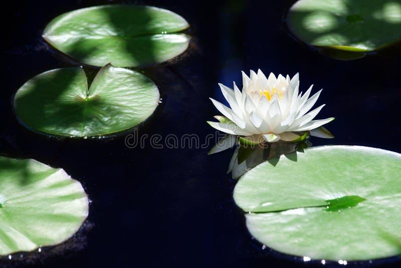 Één witte bloesem van de leliebloem op blauw water en groene bladeren dichte omhooggaand als achtergrond, mooi waterlily in bloei stock afbeelding
