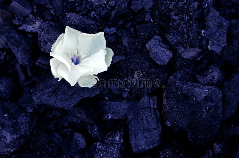 Één witte kleine bloem ligt op de achtergrond van zwarte steenkolen royalty-vrije stock afbeelding
