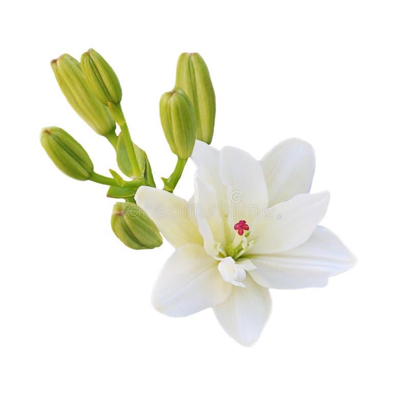Één witte Leliebloem met groene jonge spruiten op witte achtergrond stock foto's