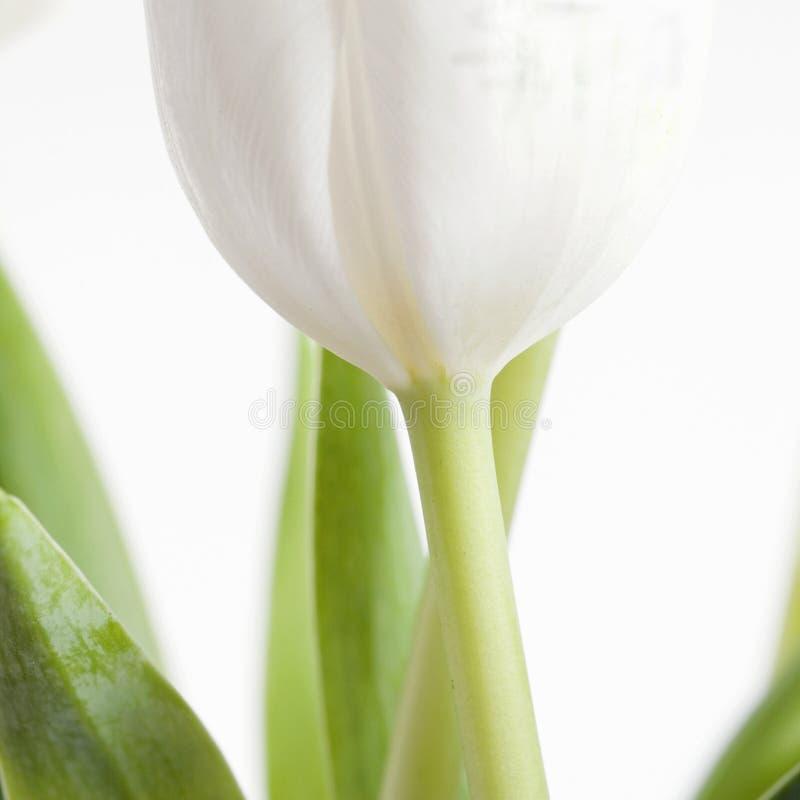 Één witte tulp op witte sq stock afbeelding