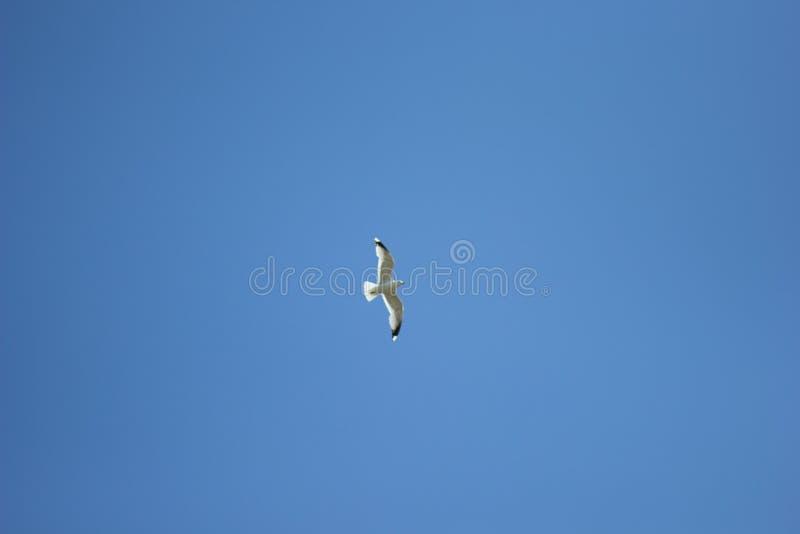 Één zeemeeuw die hoogst in de blauwe hemel stijgen stock afbeeldingen