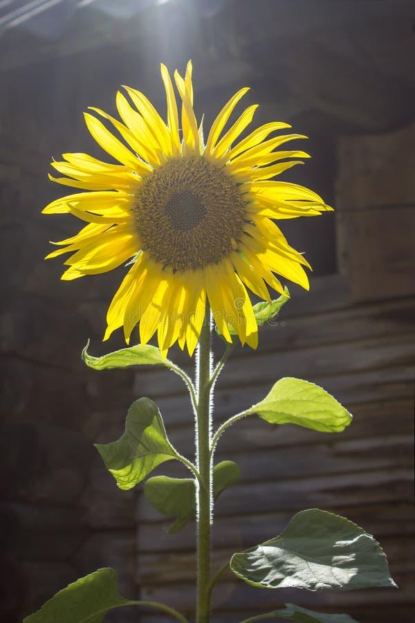 Één zonnebloembloem in de zon stock foto's