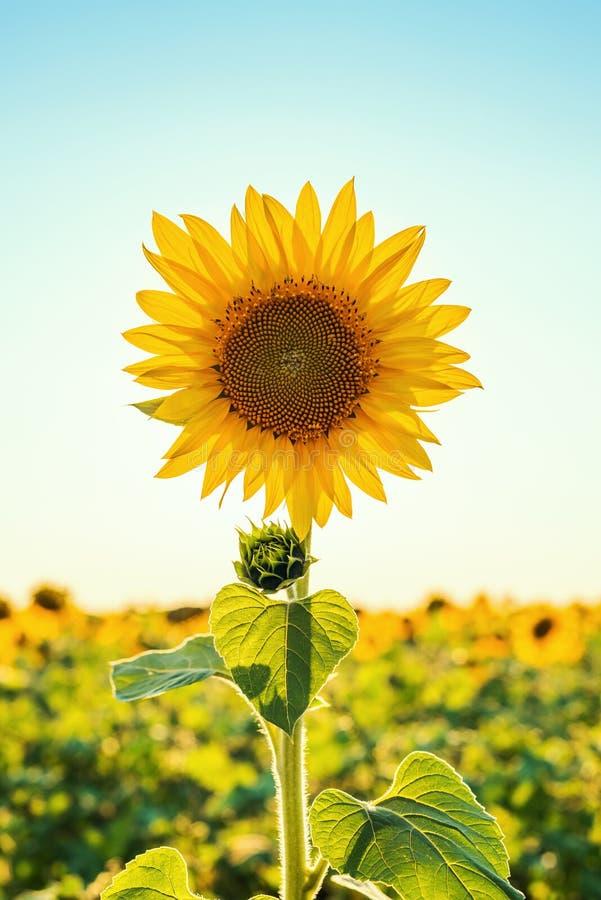 Één zonnebloemclose-up op gebied in zonsondergang royalty-vrije stock fotografie