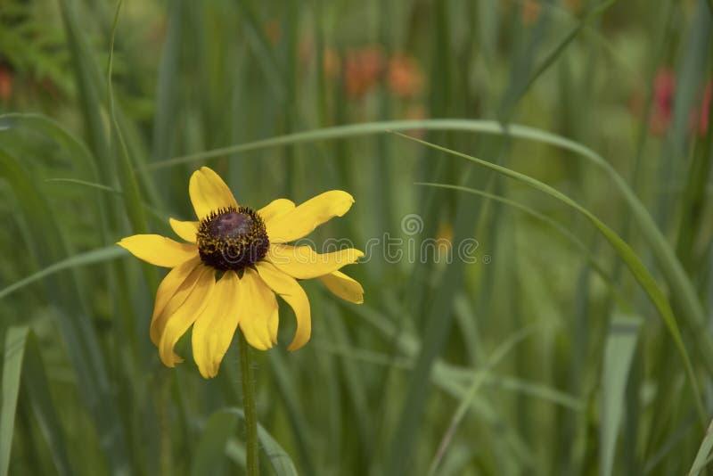 ??n zwart-Eyed hirta-geel Susan-Rudbeckia wildflower tegen vage groen met erachter wenken van gekleurde bloemen - achtergrond - royalty-vrije stock afbeelding