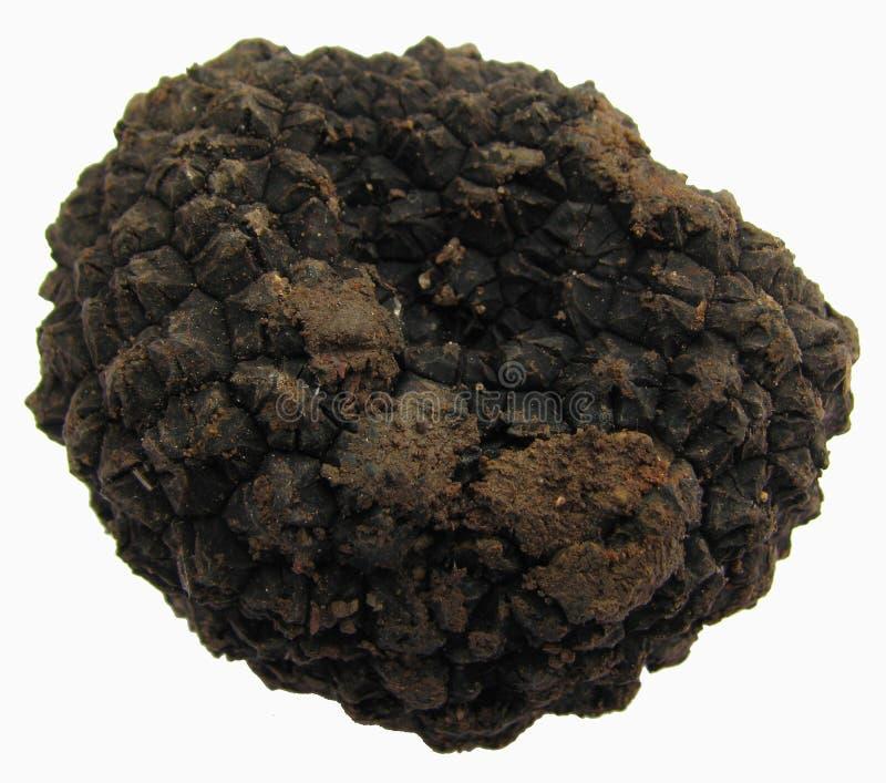 Één zwarte truffel-knol aestivum stock afbeeldingen