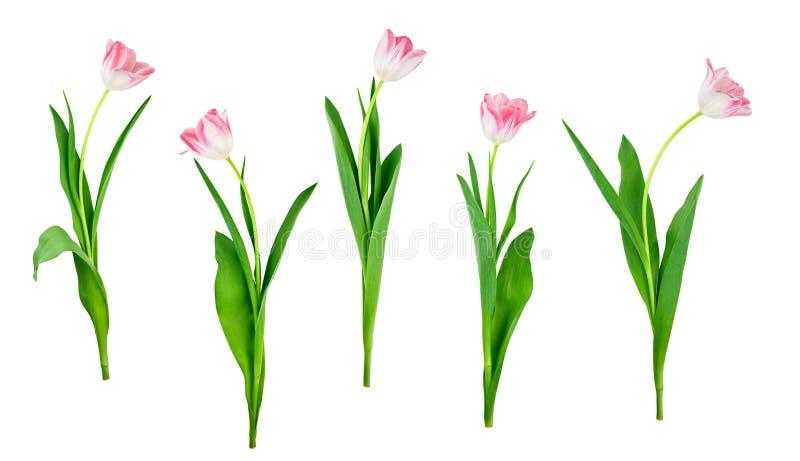 郁金香花在与被保存的裁减路线的白色设置了被隔绝 免版税库存图片