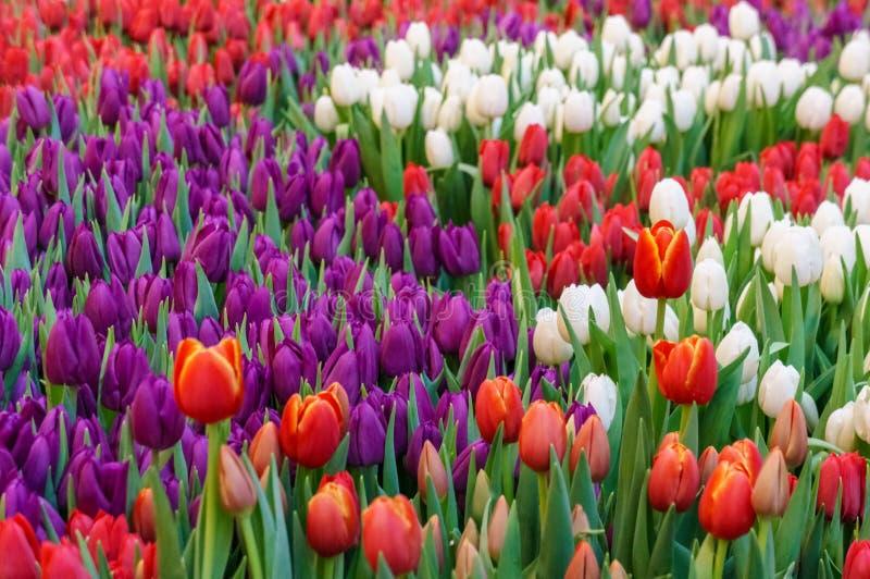 郁金香背景的五颜六色的领域 美好的横向春天 开花花绽放  库存图片