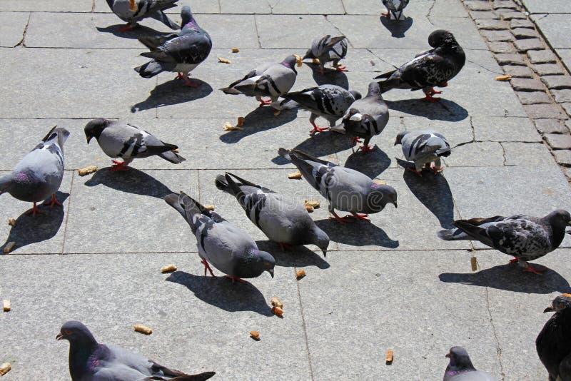 都市鸽子吃路人驱散的饲料 免版税库存照片