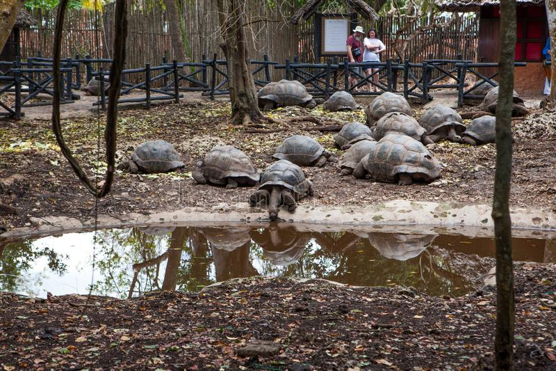 阿尔达布拉环礁巨型草龟 免版税图库摄影