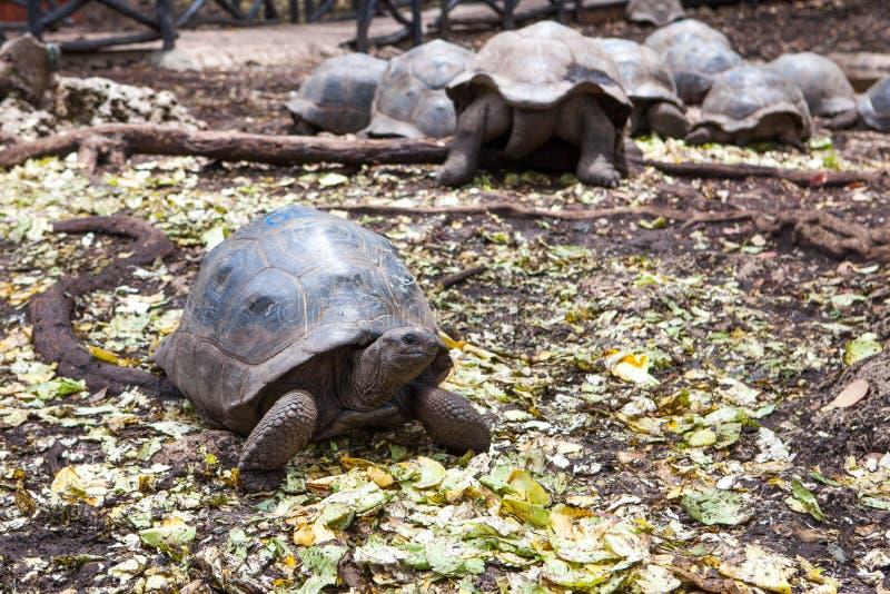 阿尔达布拉环礁巨型草龟Aldabrachelys gigantea 免版税库存照片