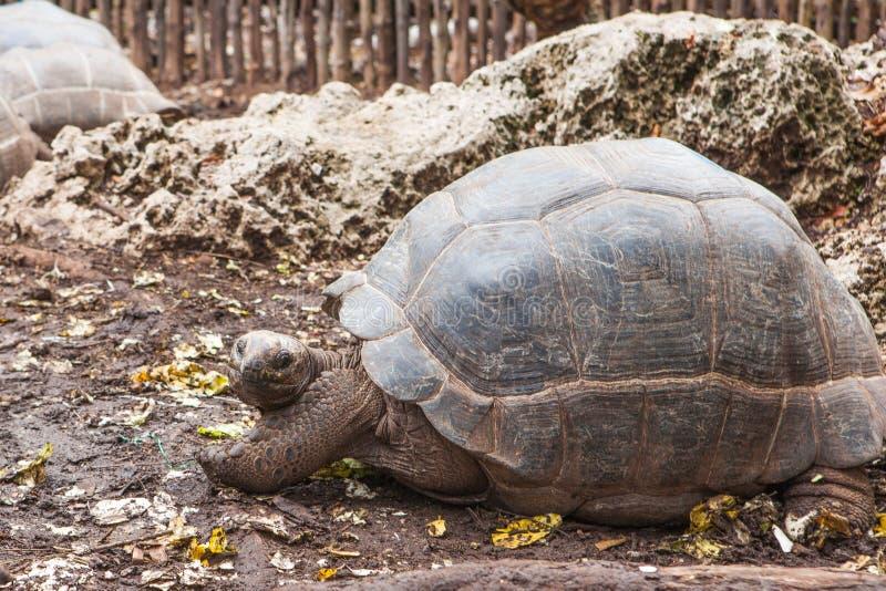 阿尔达布拉环礁巨型草龟Aldabrachelys gigantea 免版税图库摄影