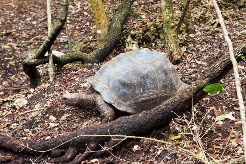 阿尔达布拉环礁巨型草龟Aldabrachelys gigantea 库存照片
