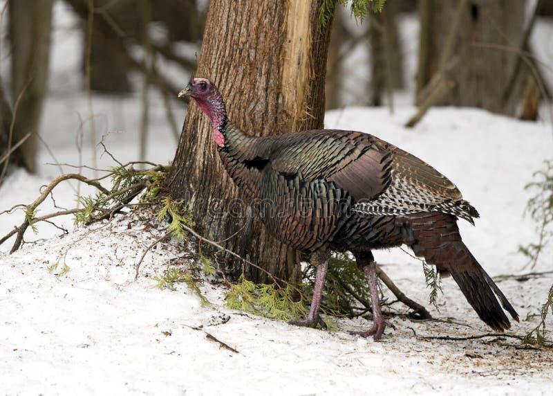野生汤姆土耳其在搜寻在森林里的冬天 库存图片