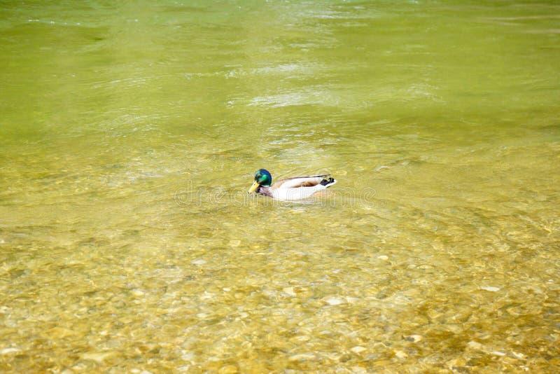 野鸭游泳在绿河中 免版税库存照片