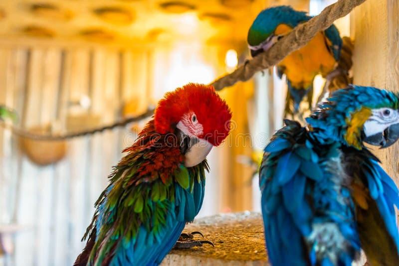 金刚鹦鹉鹦鹉坐一条绳索在一个鸟类学公园 免版税图库摄影