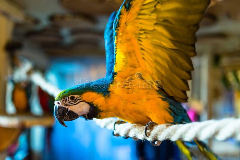 金刚鹦鹉鹦鹉坐一条绳索在一个鸟类学公园 库存照片