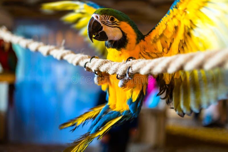 金刚鹦鹉鹦鹉坐一条绳索在一个鸟类学公园 免版税库存照片