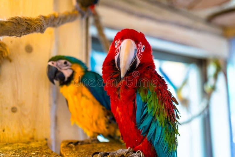 金刚鹦鹉鹦鹉坐一条绳索在一个鸟类学公园 图库摄影
