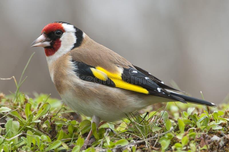 金翅雀- Carduelis carduelis、画象寻找食物的,全身羽毛和颜色 库存照片