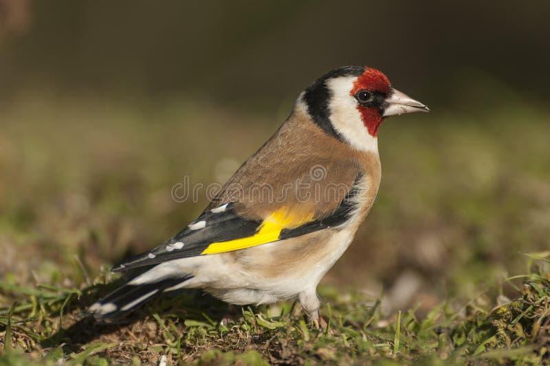 金翅雀- Carduelis carduelis,寻找食物、全身羽毛和颜色 库存图片