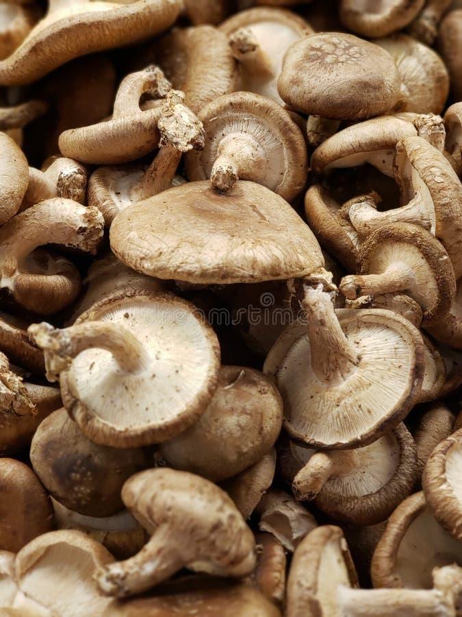 采蘑菇shitake 免版税图库摄影