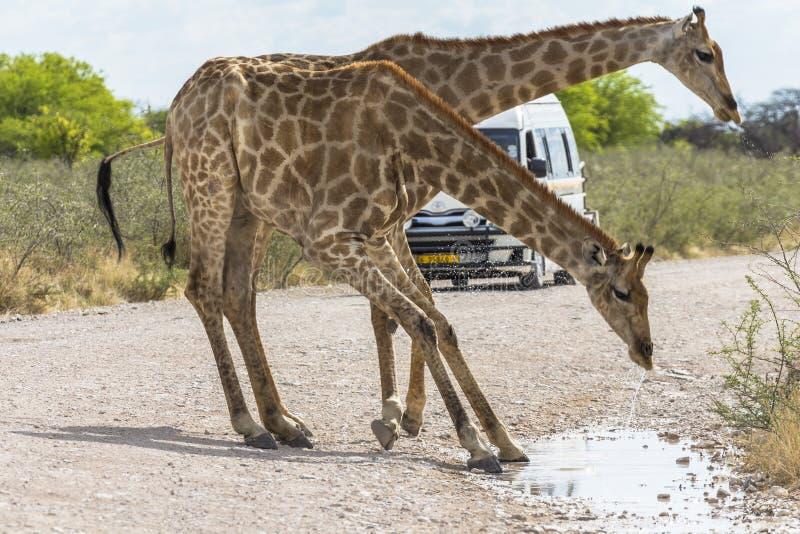 长颈鹿饮用水在Etosha公园,纳米比亚 库存图片