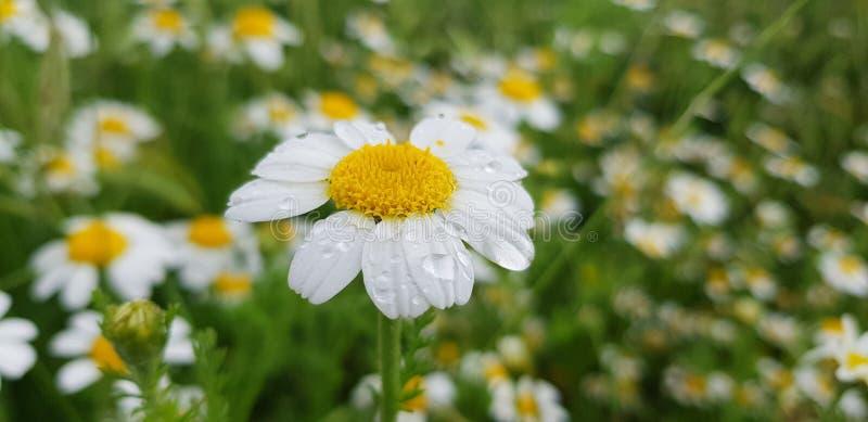 雏菊与露滴的花细节在它的在绿色叶子和其他雏菊花背景的白色瓣  免版税库存照片